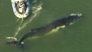 Wal wird von Tierschützern gerettet
