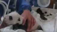 Panda-Zwillinge in Schanghai entwickeln sich prächtig