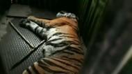 Menschenfresser-Tiger gefangen