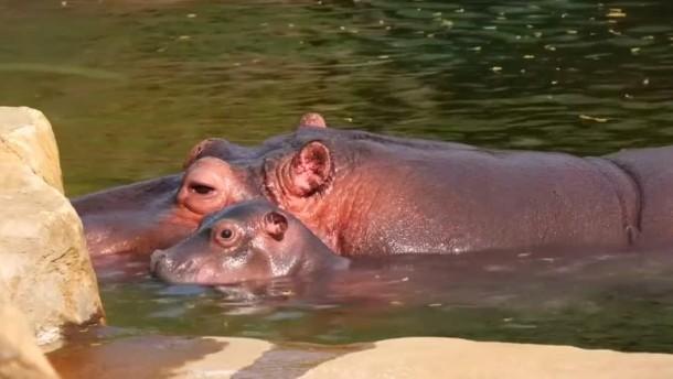 Hippo-Nachwuchs in Memphis
