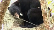 Bär stürzt vom Baum