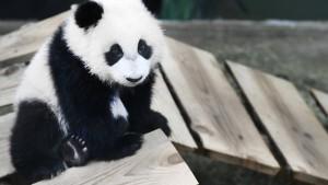 Riesenpanda Fan Xing neuer Publikumsmagnet