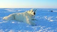 Konsequenzen für Eisbären: In den nördlichen Polarregionen schmilzt mehr Eis.