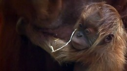 Orang-Utan-Baby im Frankfurter Zoo geboren