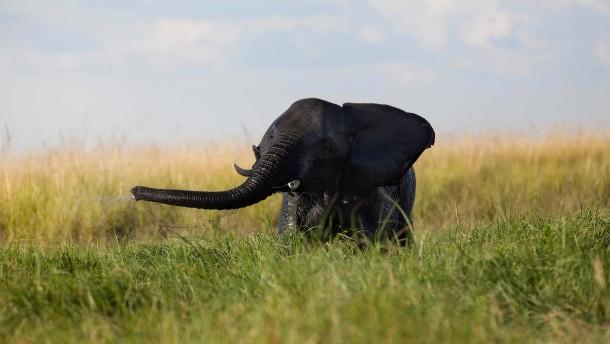 Massaker an Elefanten in Botswana