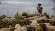 Erhalt der Artenvielfalt oder Fehlanreiz? – Steffen Carmin mit einigen seiner etwa 250 Coburger Fuchsschafe.