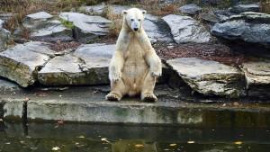 Ein Berliner Eisbär-Baby ist offenbar gestorben