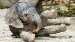 Ein Babyelefant kommt gerannt