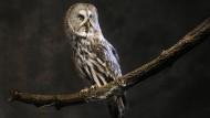 """Der Bartkauz (Strix nebulosa). Posteule """"Errol"""", die Familie Weasley in der Harry-Potter-Reihe nutzt, ist ebenfalls ein Bartkauz. Unverwechselbar ist der Vogel durch seinen riesigen Kopf, das einzigartige Gesichtsmuster und die dunklen bartähnlichen Flecken unter dem Schnabel."""