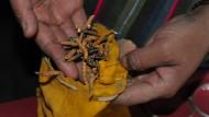 Hybrid aus Raupe und Pilz: Yarsagumba ist eine lukrative Einkommensquelle.