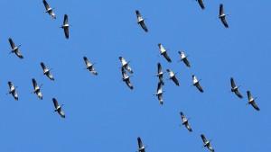 Kraniche überfliegen wieder Hessen