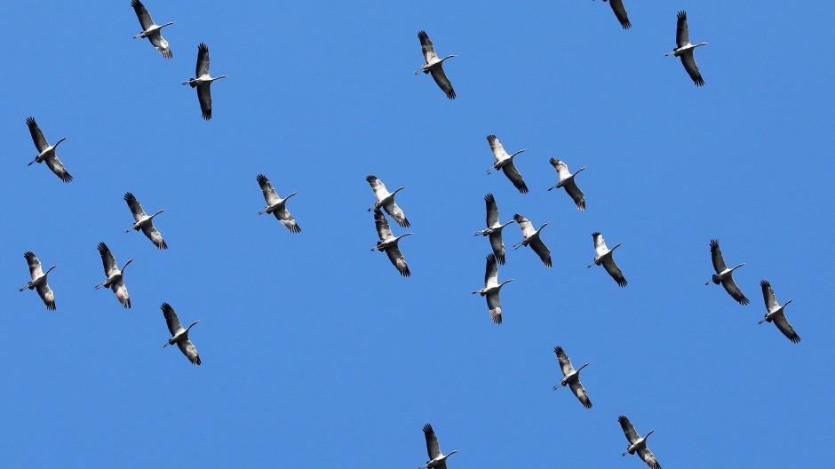 Scharen von Kranichen überfliegen derzeit auf ihrem Weg in ihre Winterquartiere Hessen. Charakteristisch sind ihre Trompetenrufe.