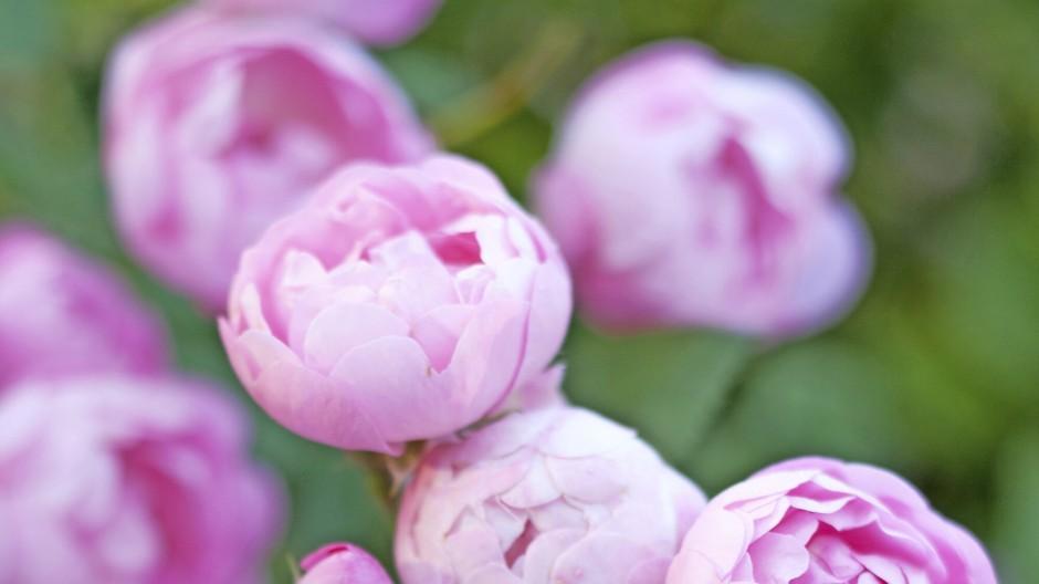 Die Kletterrose 'Raubritter' besticht mit dicht gefüllten Blütenkugeln in zartem Rosé.