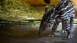 Baby-Tapir in Antwerpen geboren