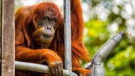 Ältester Orang Utan der Welt wird 60