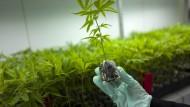 Bundestag stimmt für Cannabis auf Rezept