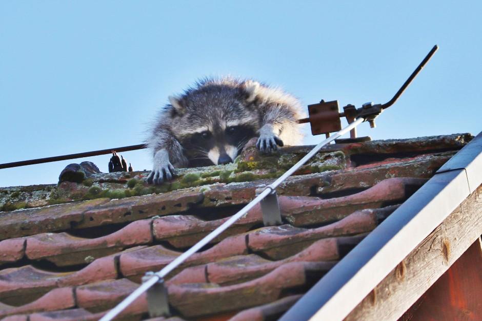 Niedlich und lästig zugleich: Waschbären erobern zunehmend Stadtränder.