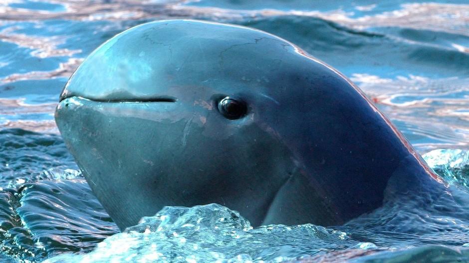 """Zu den diesjährigen """"Gewinnern"""" zählen Meeresschildkröten, Irawadi-Delfine (Foto), Persische Leoparden sowie Blaukehlaras, deren Bestände sich allmählich erholten"""