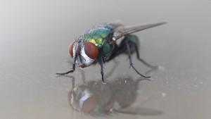 Fliege sabotiert Domino-Weltrekordversuch