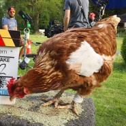 """Das Huhn """"Sieglinde"""" 2017 bei Dreharbeiten zu einem Film"""