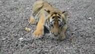 Königstiger-Nachwuchs in Miami