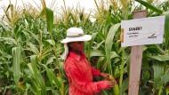 Auf einem Forschungsfeld von Monsanto in Indien.