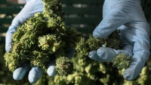 Cannabis-Fusion begeistert Aktienkäufer
