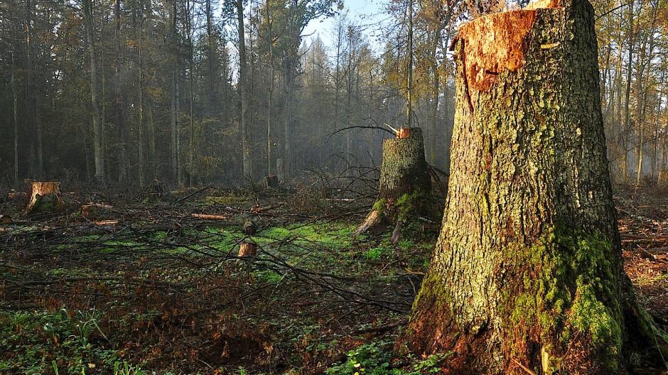 Kahlschlag an der Wolfsschneise: Hier hat ein Holzvollernter ganze Arbeit geleistet.