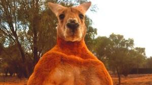 Australien trauert um berühmtestes Känguru Roger