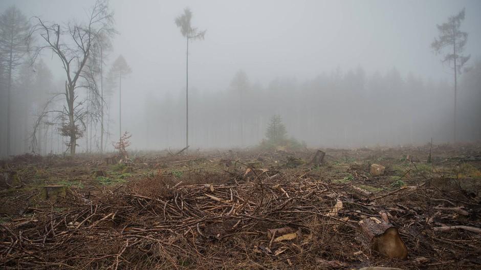 Nach einem schweren Borkenkäferbefall mussten auch bei Bad Homburg im Taunus viele Fichten gefällt werden.