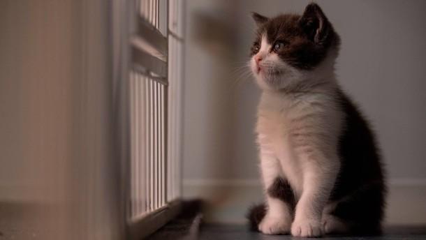 Haustierbesitzer zahlt 32.000 Euro für Katzen-Klon