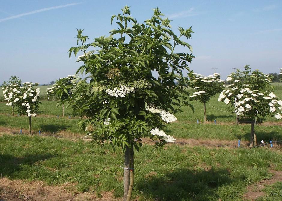 Blühen herrlich weiß und duften gut: Holunderbäume