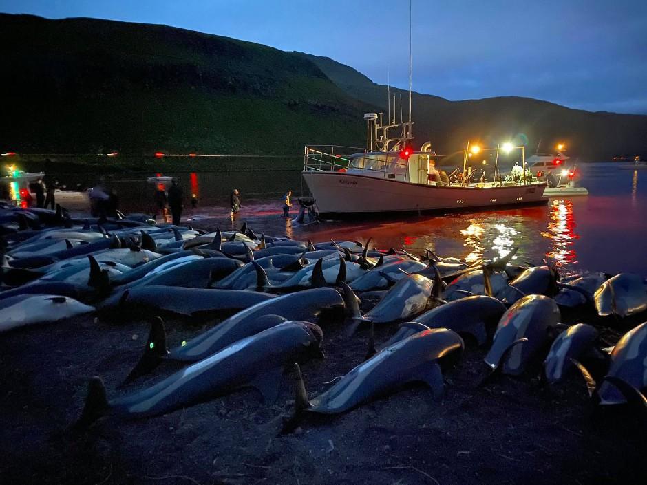 Sea Shepherd sprach von der größten Herde Meeressäuger, die auf den Färöer-Inseln jemals bei einer einzigen Aktion getötet worden sei.