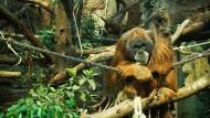 Affenhitze: Eine moderne Heizung sorgt dafür, dass es die Orang-Utans warm genug haben.