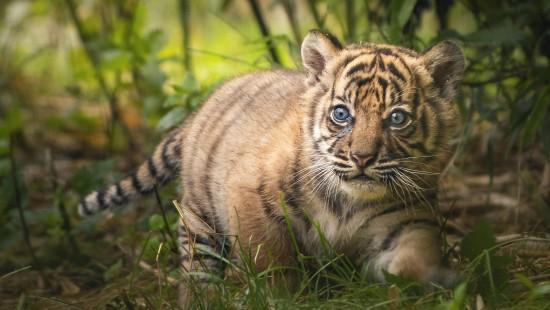 Sumatra-Tiger im Breslauer Zoo geboren