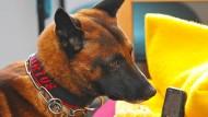 Der belgische Schäferhund Artus erschnüffelt in der Justizvollzugsanstalt Dresden als Handyspürhund in deutschen Gefängnissen ein Handy. Im Missbrauchsfall auf einem Campingplatz in Lügde setzen die Ermittler ihre Spurensuche mit einem speziellen Datenträger-Spürhund fort.