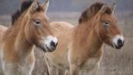 Zurück in die alte Heimat: Die Przewalski-Pferde, weltweit gibt es mittlerweile wieder 2.000 Exemplare, sollen ausgewildert werden.