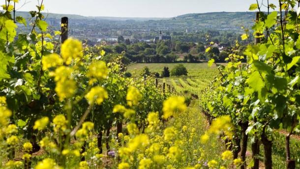 Weinberge - In den Weinbergen des Rheingau gibt es einen großen Vegetationsvorsprung mit einem der frühesten Blüh-Zeitpunkte der letzten Jahre.