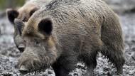 Allesfresser: Wildschweine suchen auch in Mülltonnen nach Futter.