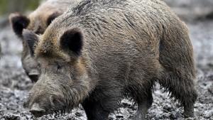 Trichinen bei Wildschwein nachgewiesen