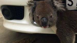 Koala überlebt Zusammenstoß mit Auto im Kühlergrill