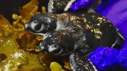 Zweiköpfige Babyschildkröte in Malaysia entdeckt