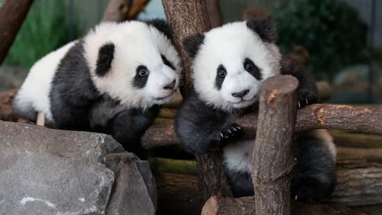 Babypandas auf Entdeckungstour