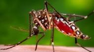 Mücken übertragen das Tropenfieber Zika.