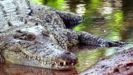 Krokodile in Australien immer angriffslustiger