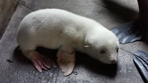 Erstes Albino-Seebärenbaby im Tierpark Hagenbeck geboren