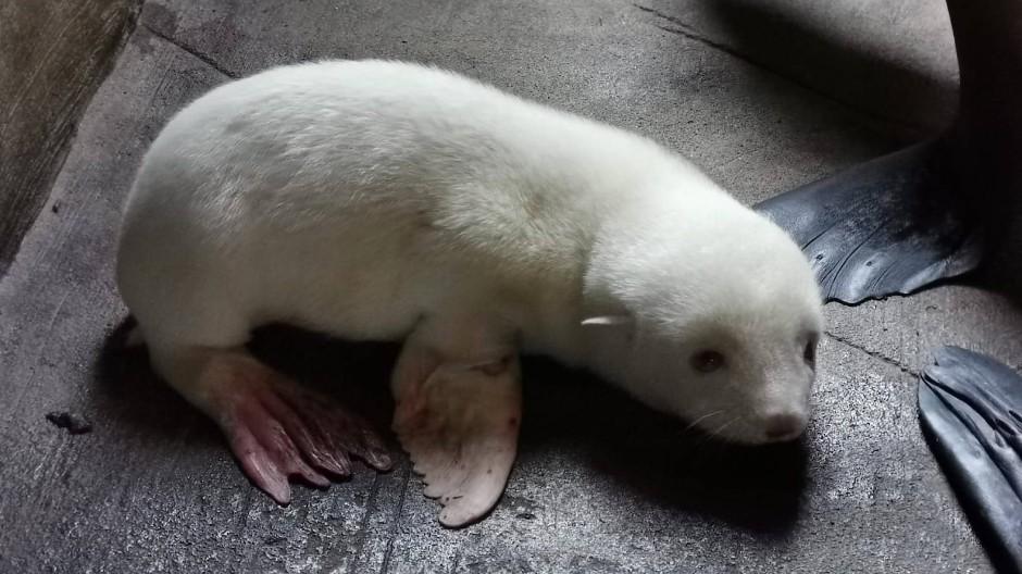 Ein weißes Südamerikanisches Seebärenbaby liegt in einem abgetrennten Gehegebereich des Eismeers im Tierpark Hagenbeck.