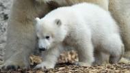 Eisbärjunges heißt Quintana