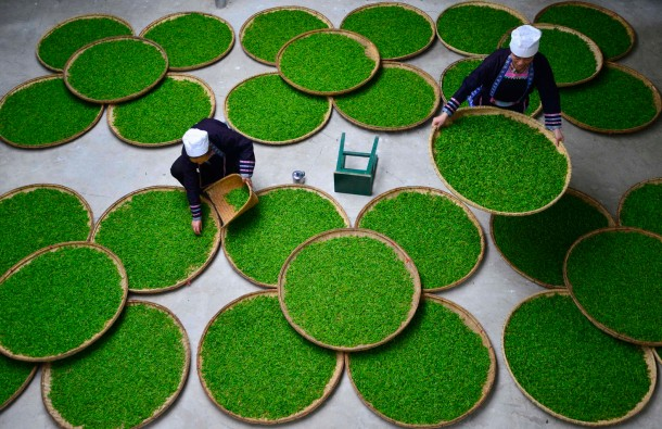 Ethnic Dong women work at a tea leaf processing factory in Liping county