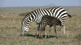 Gepunktetes Zebra lockt Touristen in Scharen